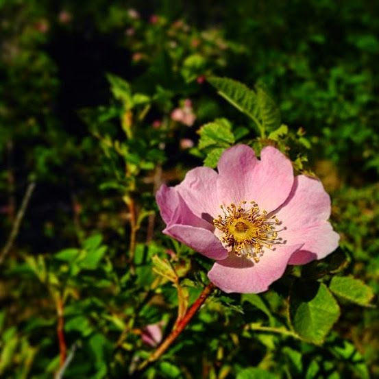 Wild rose in Norway