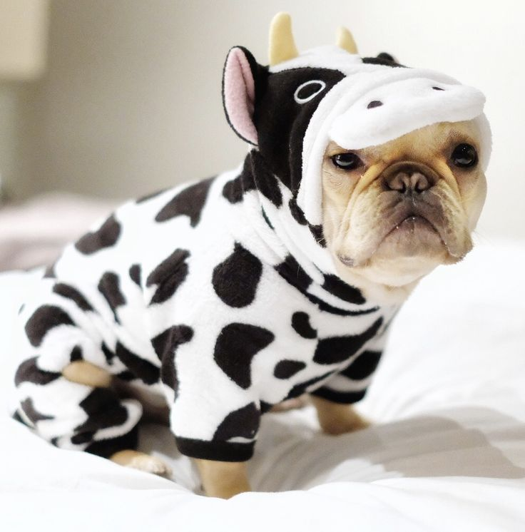 Alfie the French Bulldog in a Cow Onesie