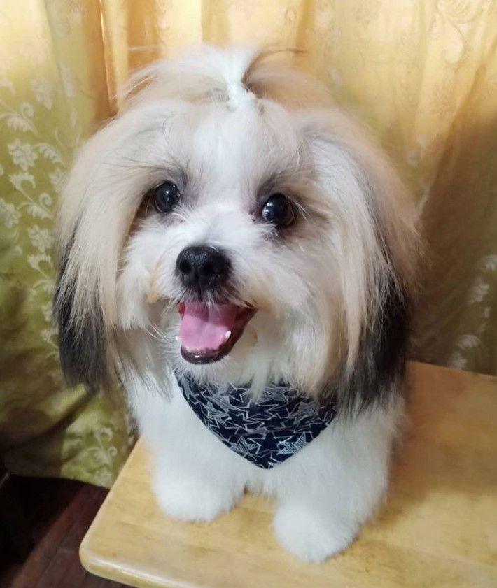 Shih Apso Shih Tzu X Lhasa Apso Shih Tzu Lhasa Apso Dog Mixes