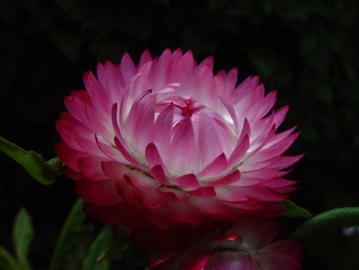 Aussie paper daisy