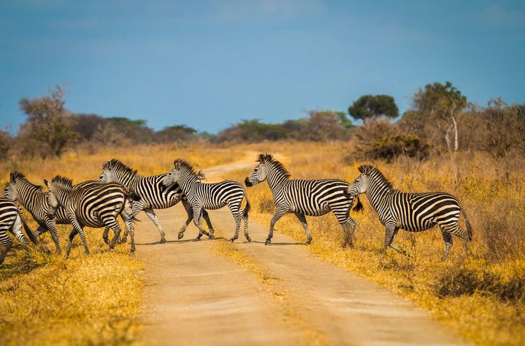 Zebra crossing (Tanzania) by Nick Powell Africa Our Africa!