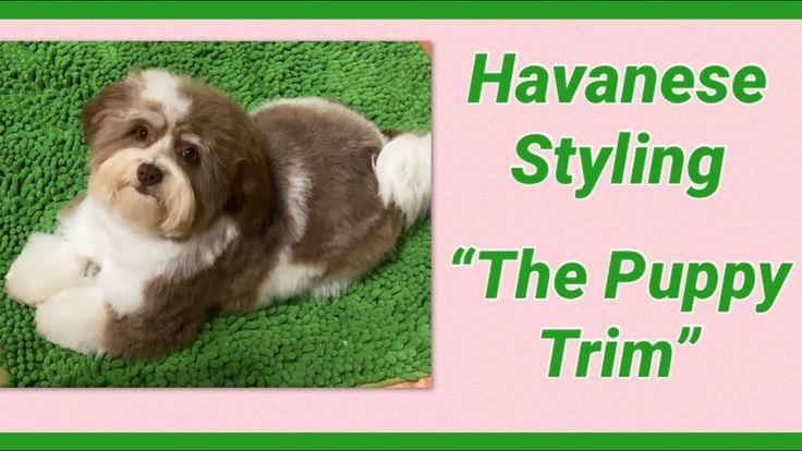 Havanese Puppy Trim YouTube in 2020 Havanese puppies