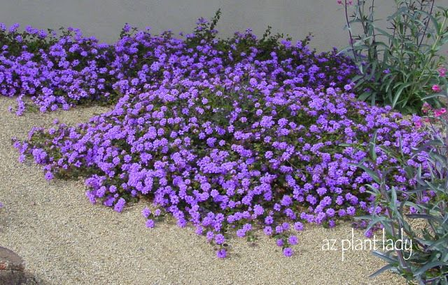 purple trailing lantana; heat tolerant, low water use, bright attractive flowers spring-fall.  Can take over an area so plant in spots you want to fill quickly!