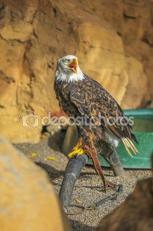 Белоголовый орлан (Haliaeetus leucocephalus) — Стоковое фото © rybalov777 #57860907