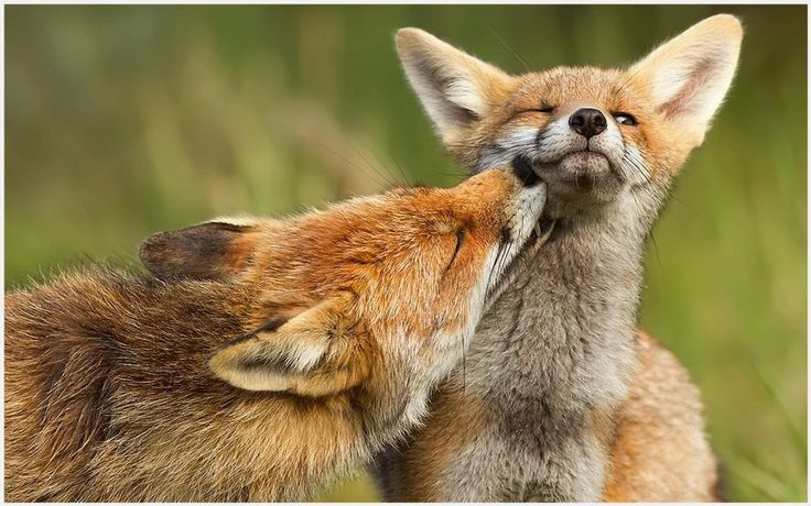 Red Foxes Wallpaper | baby red fox wallpaper, red fox iphone wallpaper, red fox wallpaper, red fox wallpaper hd, red fox wallpaper national geographic, russian red fox wallpaper