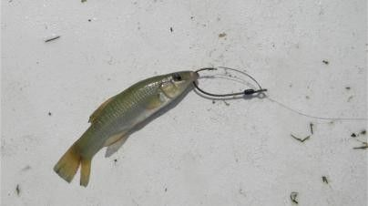 Top 10 live baits for inshore saltwater fishing fishing for Bass fishing with live bait