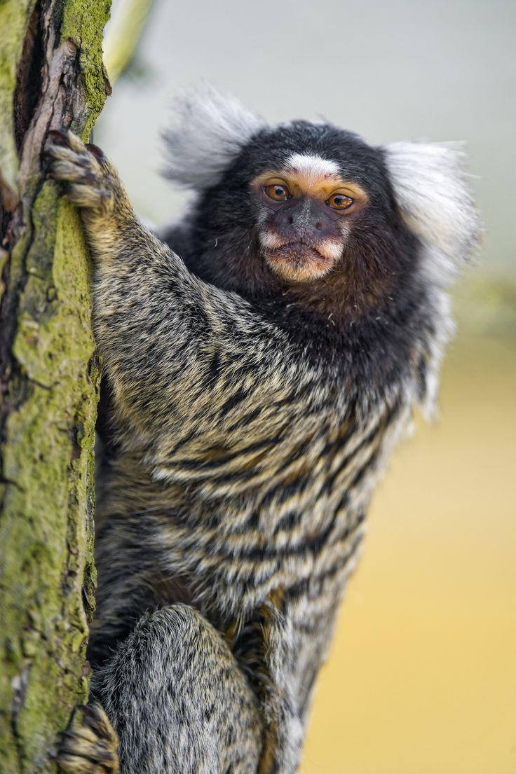Marmoset on the branch by Tambako The Jaguar on Flickr                                                                                                                                                                                 More