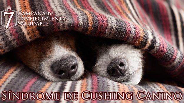 cabezera-Síndrome-de-Cushing-Canino