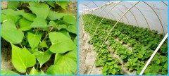 さつまいもの王様なると金時バイオ苗を販売しているのは鳴門うずしお青果水産さん  さつまいもの植え付けは5月上旬より6月中旬頃までが一般的に行なわれていますので今がシーズンです 150日前後の栽培期間で9月10月に収穫できます 50本単位の販売になります  なると金時苗バイオ苗50本 http://ift.tt/1UiMCjg  お問い合わせ先 090-4787-1194  tags[徳島県]