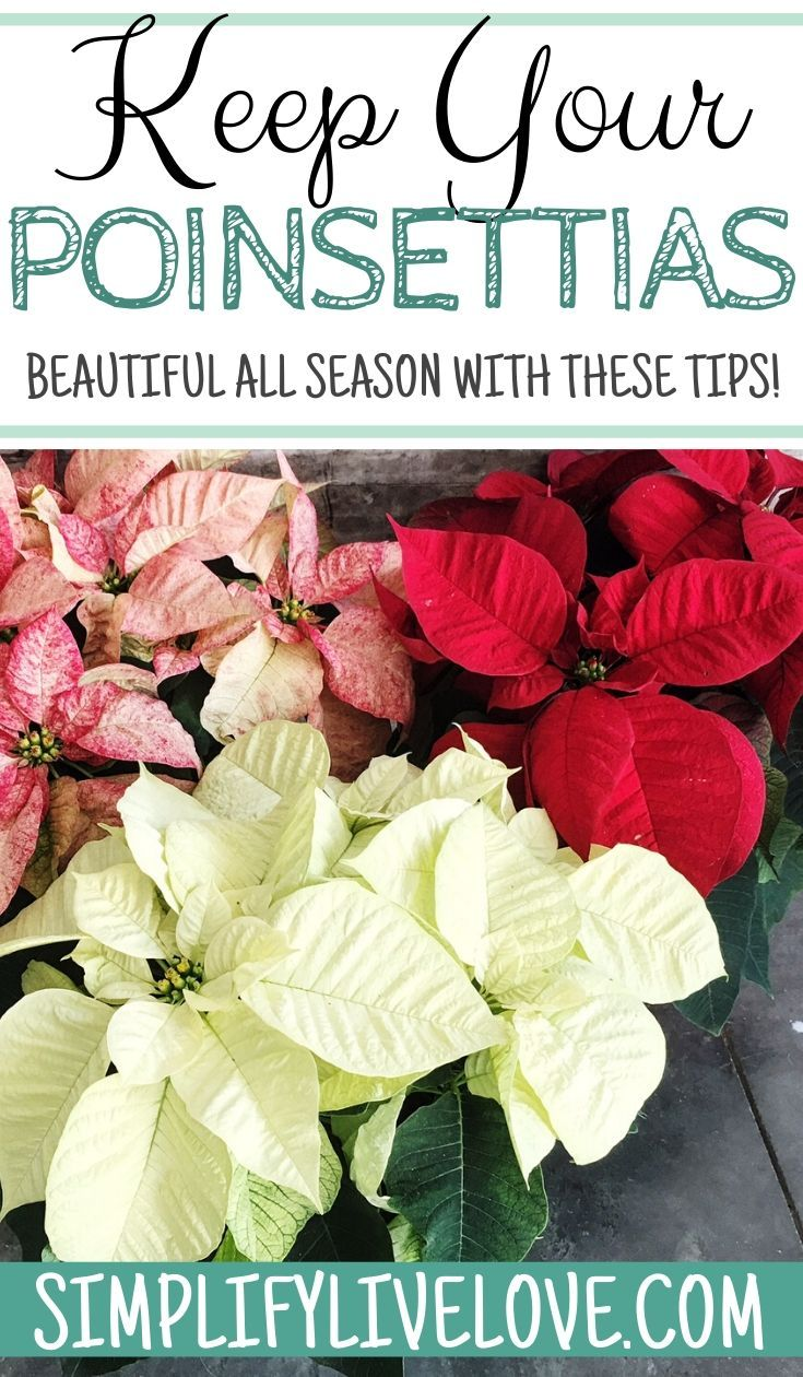 Poinsettias Make Awesome Christmas Decorations And These