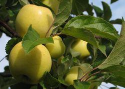 Borgosvkeje Kesälajike. Venäläistä alkuperää. Omena on keskikokoinen ja keltainen. Maku on makea, lähes hapoton. Terve ja satoisa. Omena kypsyy syyskuun alussa. Kaikkein talvenkestävin lajike.