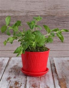 Herb Plant in Red Pot !
