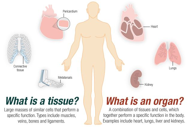 calculating the value of human tissue donation | pinterest, Cephalic Vein