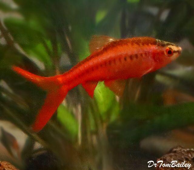 Veiltail Cherry Barb, Featured item. #veiltail #cherry #barb #fish #petfish #aquarium #aquariums #freshwater #freshwaterfish #featureditem