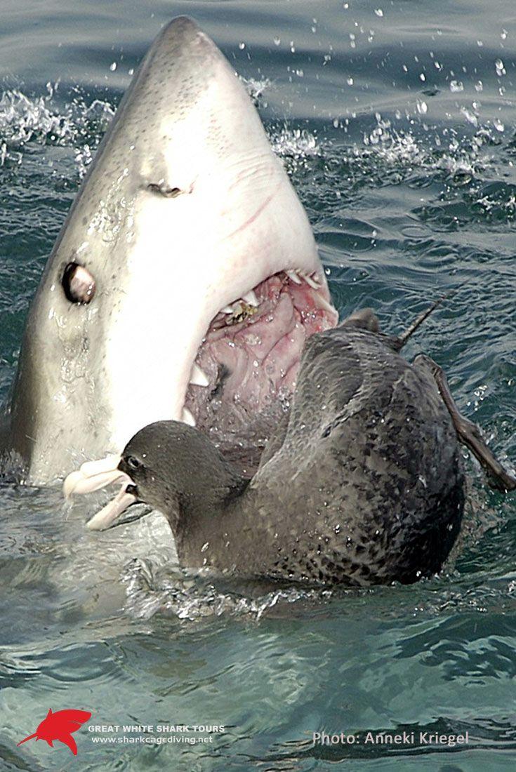 White Shark rolling its eye back when taking a bite at seabird  www.sharkcagediving.net