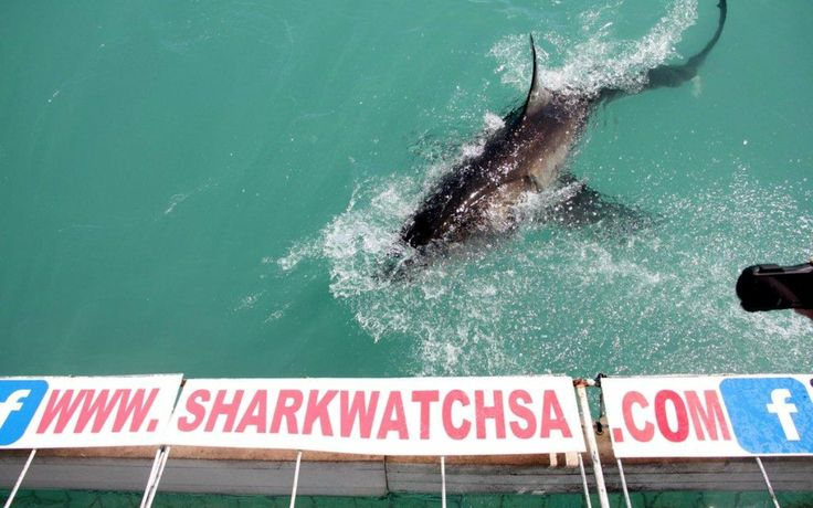 Shark-cage-diving with Marine Dynamics -03