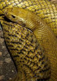 Resultado de imagen para serpiente de jarretera de flanco rojo