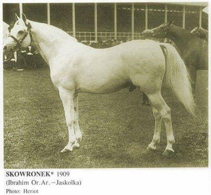 Skowronek (PL) 1909 - grey stallion - by Ibrahim (SY) ex Jaskolka by Rymnik