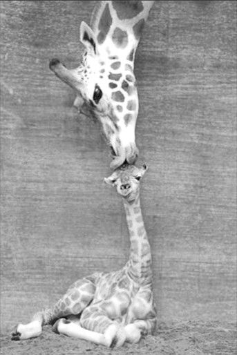 Great picture for a children's room!! .. I just LOVE Giraffes