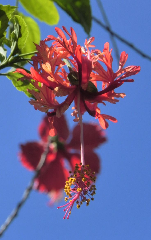 best 25 hibiscus schizopetalus ideas on pinterest. Black Bedroom Furniture Sets. Home Design Ideas