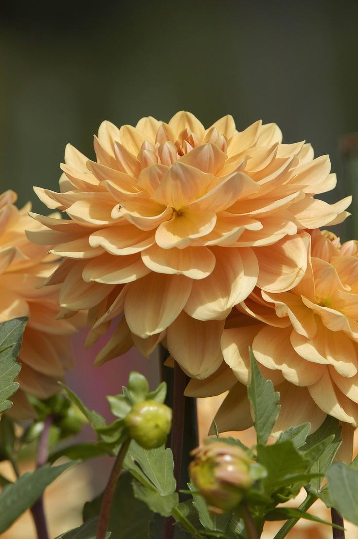 23 best Dahlia images on Pinterest   Dahlias, Dahlia and Beautiful ...