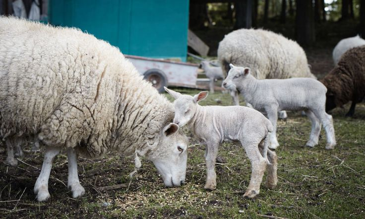 because sleepy lambs are the cutest lambs