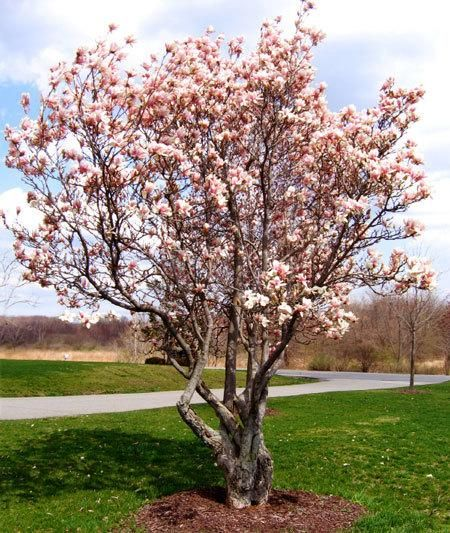 Long lasting, glossy blooms -  	These trees give you the traditional Magnolia semi-evergreen foliage with fragrant blooms. 	 	These large flowers burst in the late spring. Pinkish purple on the outside, and a bright white on the inside. 	 	Jane Magnolias grow very quickly to a mature height of 10-15 ft... the perfect...