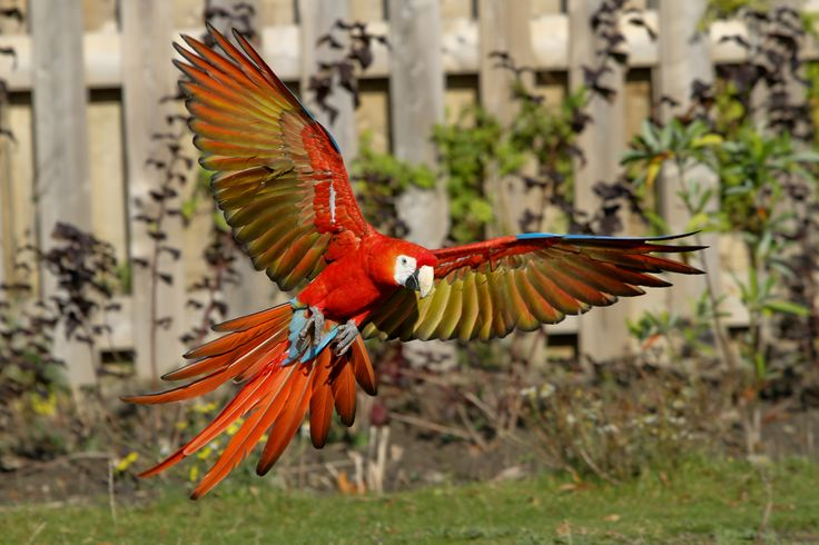 Scarlet macaw Wikipedia, the free encyclopedia Parrot