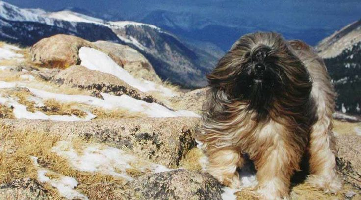Tibetan Terriers are unique among dogs for their large flat snowshoe feet adapted over centuries to help them negotiate the snowy mountainous terrain of their homeland. They were bred and raised in the monasteries by the Lamas almost 2000 years ago. http://ift.tt/22Lp4xF