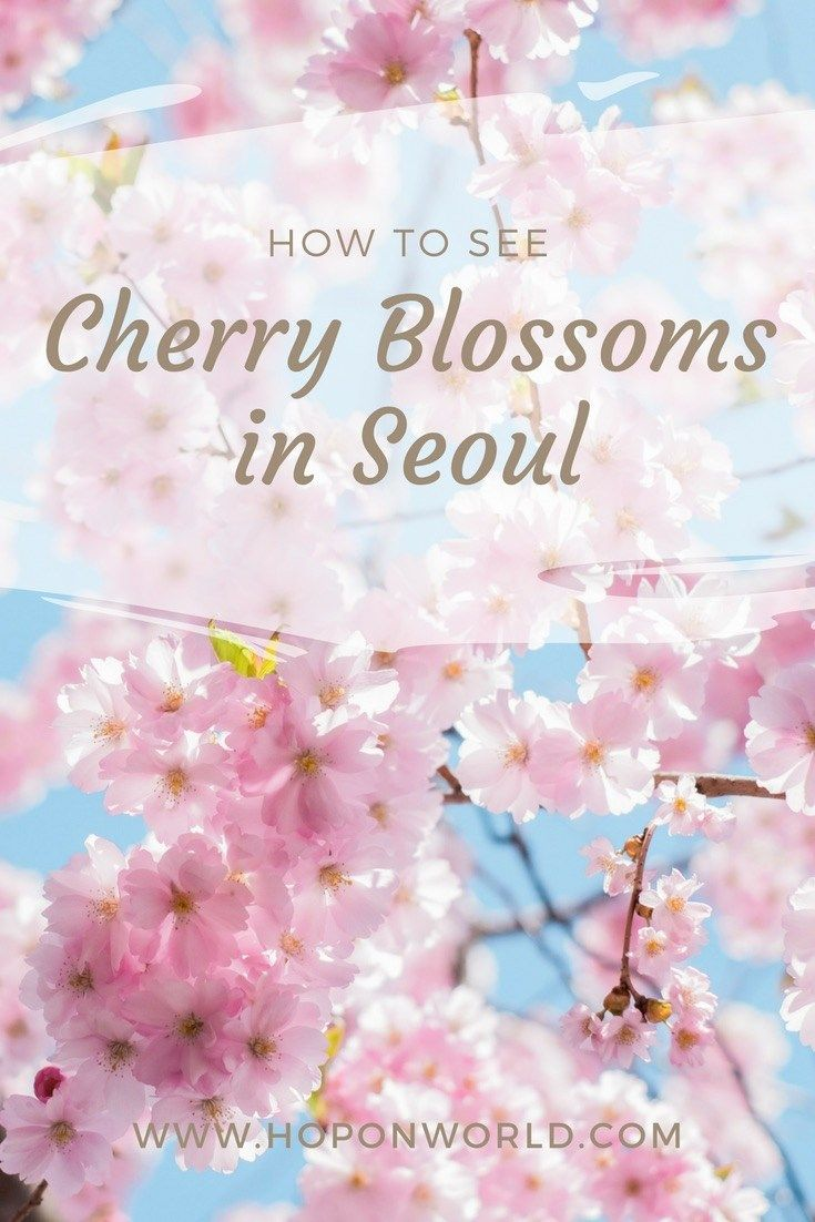 Where To See Cherry Blossoms In Seoul Hoponworld Cherry Blossom Seoul Spring Trip