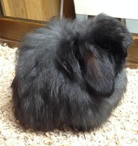 Lazy Daisy Rabbitry, American Fuzzy lops | For Sale