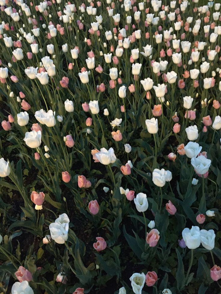 Dywan z tulipanów. Tulips carpet. #hydrobox #hydroboxpl #inspirations #garden #ogrod #tulips #tulipany #kwiatycebulowe #kwiaty #ogrodek #przestrzen #miejska #zielone #miasto
