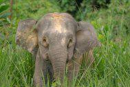 Een Aziatische olifant in Sabah op Maleisisch Borneo