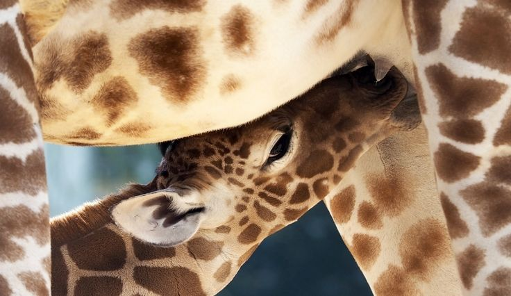 Animal Adventure Park Giraffe Cam: Updates On April, 'Calf Countdown' Continues