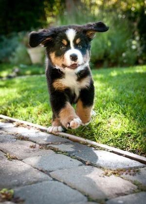 Bernese Mountain DogPuppy by catrulz