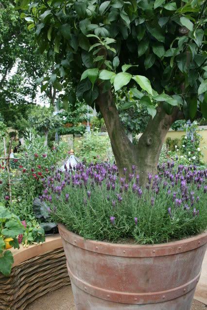 lavender underplanting get outside garden planters potted trees potted lavender. Black Bedroom Furniture Sets. Home Design Ideas