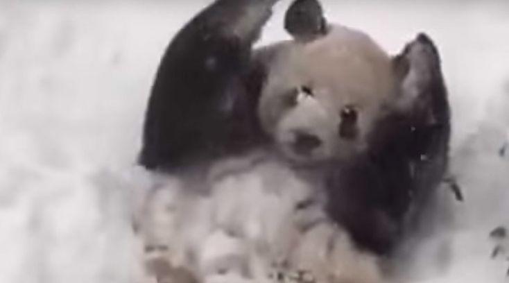 Happy panda: DC zoo bear enjoys blizzard snow (VIDEO)  http://pronewsonline.com/pronews-blog  © Smithsonian's National Zoo