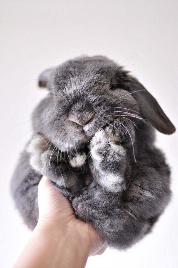 smooooosh   Hey @jenib320 - it's like George and Fatticus had a baby!!!!Holland Lop, Rabbit, Fluffy Bunnies, Funny Bunnies, Pets, Easter Bunnies, Baby Bunnies, Baby Animal, Grey