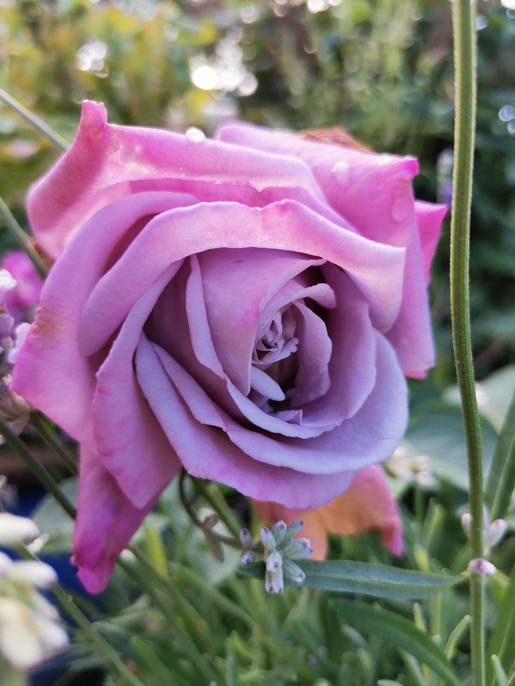 I love purpleviolet roses gardening garden diy home