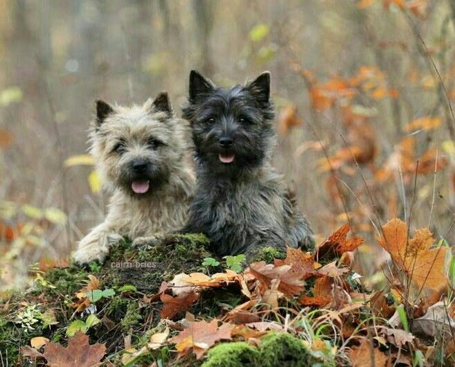 Pin By Michele Sullivan On Animals Cairn Terrier Puppies Cairn