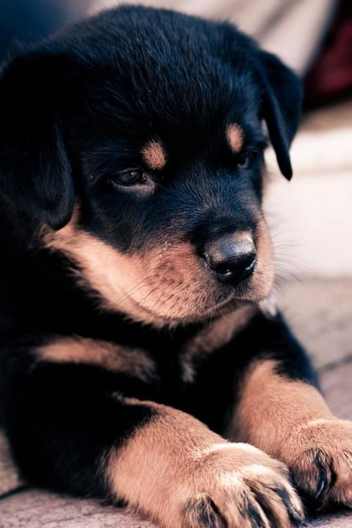 Rottweiler puppy!! My bros friend has one and its like 10 weeks OMG SO ADORIBLE!!!!