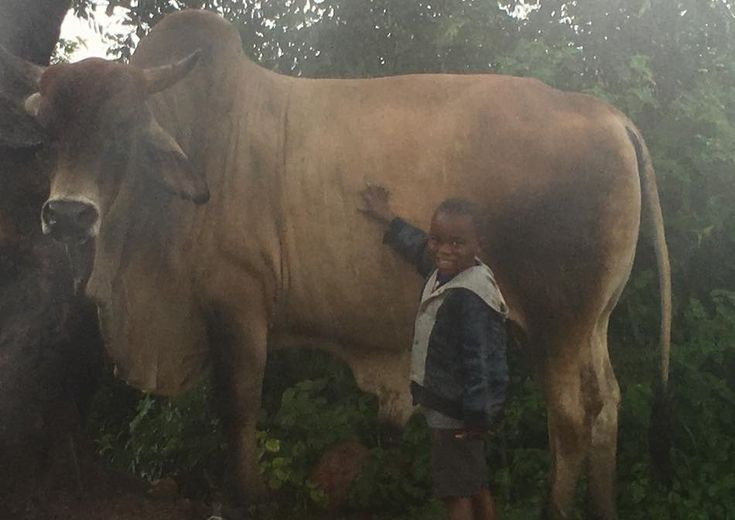 """Limpopo's three-year-old """"bull whisperer"""" saves local vet's life If you've got a 650kg Brahman Bull charging towards you, it's all but certain your life is coming to an end. That's unless you happen to know Limpopo's youngest bull whisperer. https://www.thesouthafrican.com/limpopo-bull-whisperer-three-year-old/"""