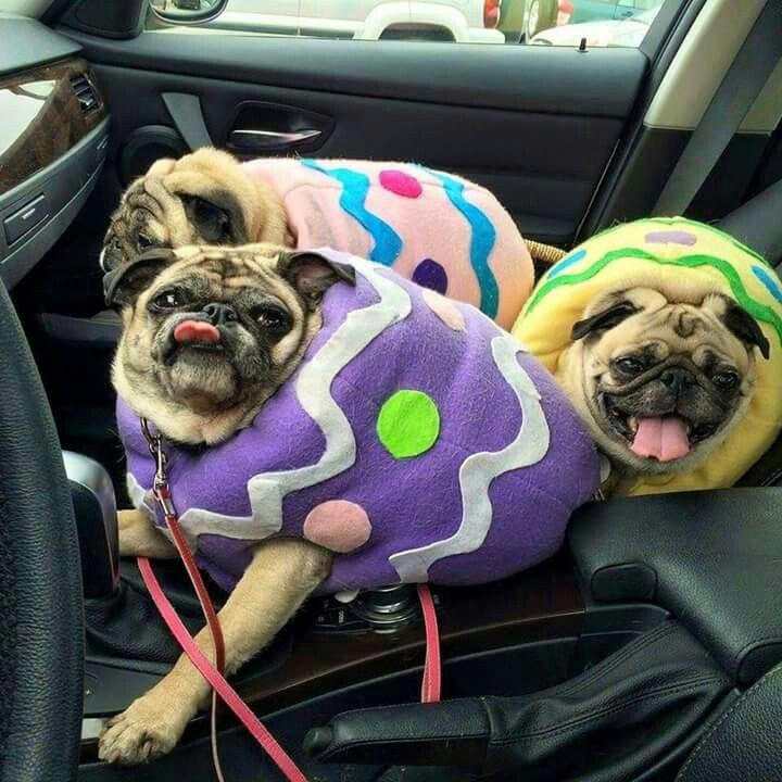 PUG eggs Hahahaha