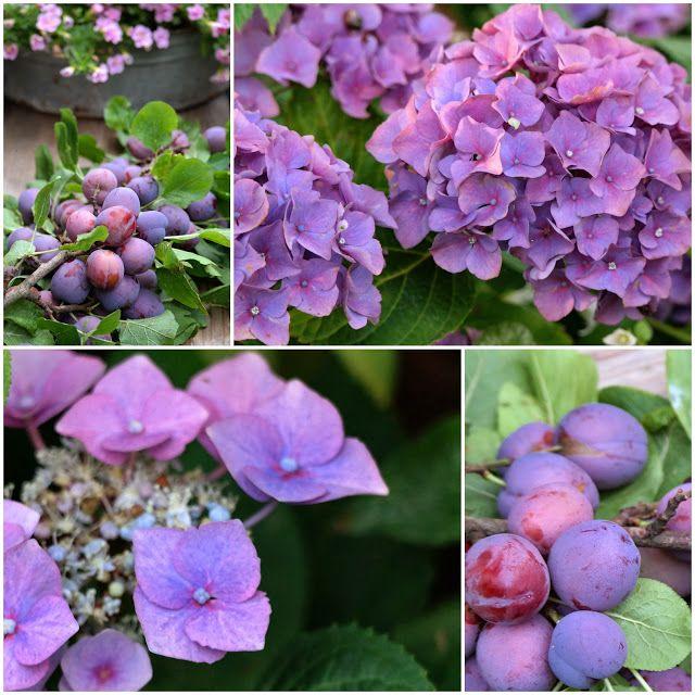 De Swieterij: plums and hydrangeas