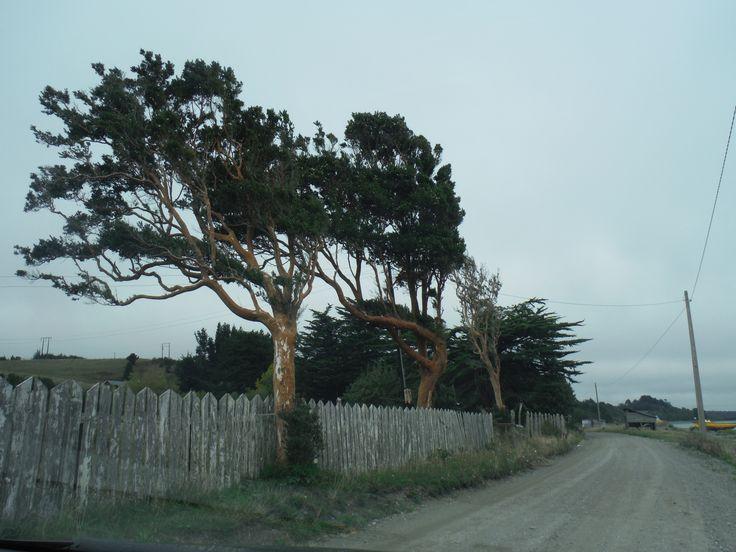 Arrayán trees