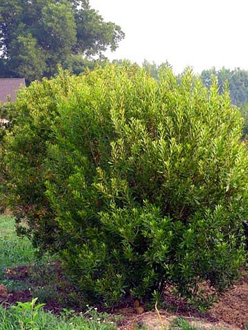Wax myrtle large evergreen shrub 12 39 t 8 10 39 w part to for Large bushes for landscaping