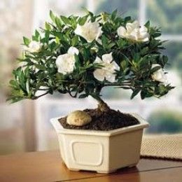 Cape Jasmine Bonsai. My Mom Has A Plant Growing In Her Backyard, Will  Attempt