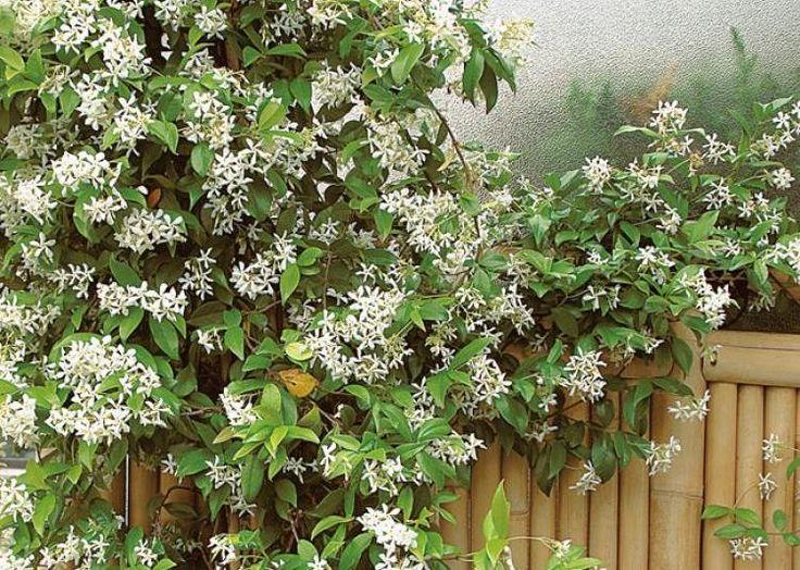 Jasmin étoilé (Trachelospermum jasminoides) au balcon - F. Boucourt