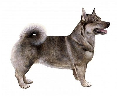 Swedish Vallhund - wolf Corgi!!