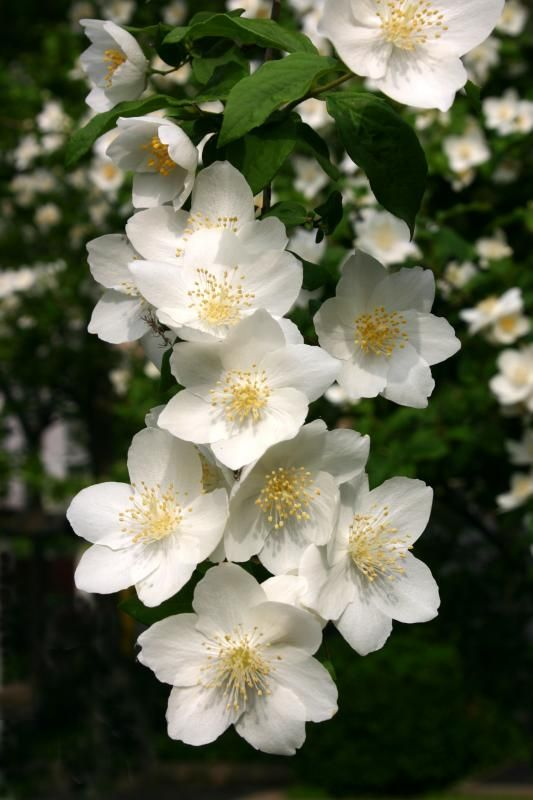 Mock orange! So beautiful and sweet smelling!